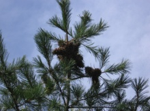 Image for Pine Nut Trees