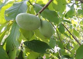 Products Pawpaw Trees Grimo Nut Nursery