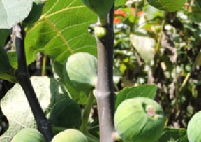 Fig Trees Image