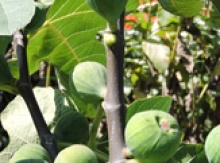 Image for Fig Trees