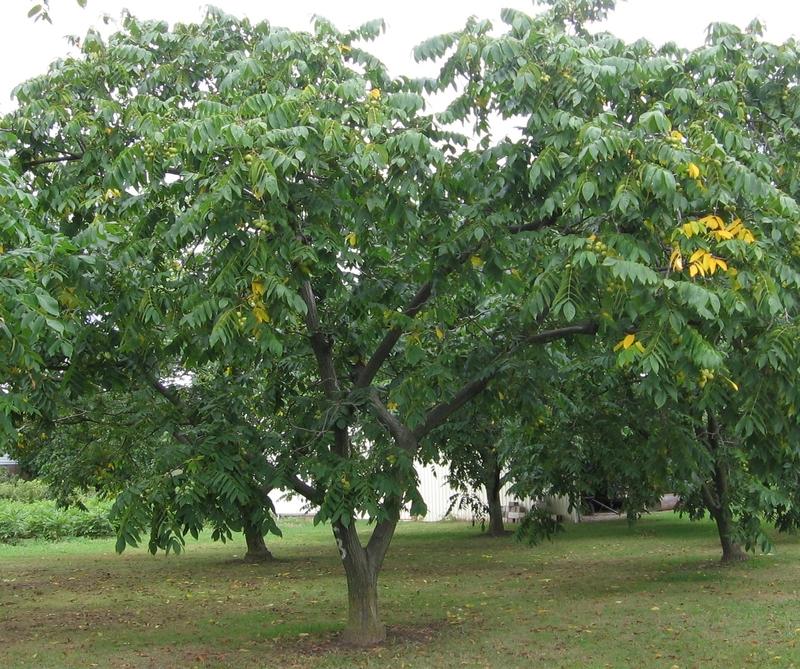 Products - Heartnut - Grimo Nut Nursery