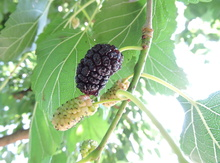 'Capsrum' Mulberry Graft Image