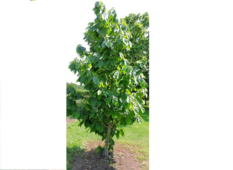 Pawpaw Seedling Image