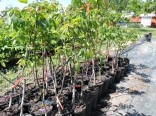 Black Walnut Grafted Potted Trees Image