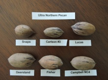 Ultra Northern Pecan Grafted Potted Trees Image