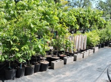 Beech Seedling Potted Trees Image