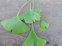 Ginkgo Grafted Potted Trees Image