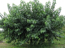 Mulberry Grafted Potted Trees Image