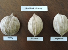 Shellbark Hickory Seeds Image