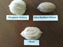 Hican Seeds Image
