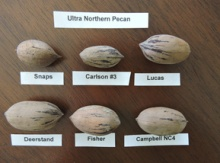 Ultra Northern Pecan Seeds Image