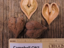 'Campbell CW1' Heartnut Graft Image