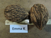 'Emma K' Black Walnut Graft Image