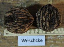 'Weschcke' Black Walnut Graft Image