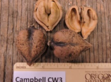 'Campbell CW3' Heartnut Graft Image