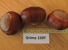 'Grimo 150Y' Chinese Chestnut Graft Image