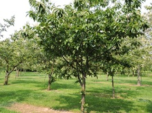 Peach' Chinese Chestnut Graft Image